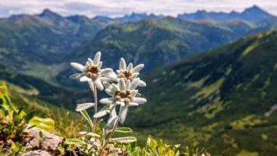 Photo of Fiori di montagna, spettacolari opere d'arte della natura