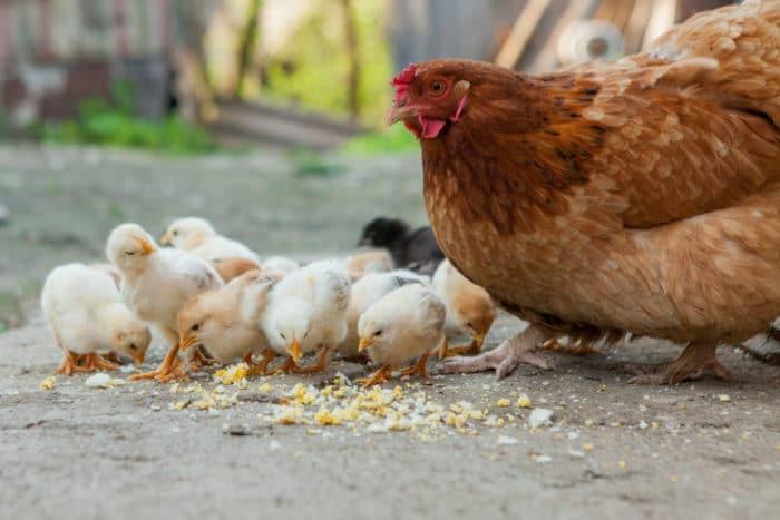 pollo e cappone