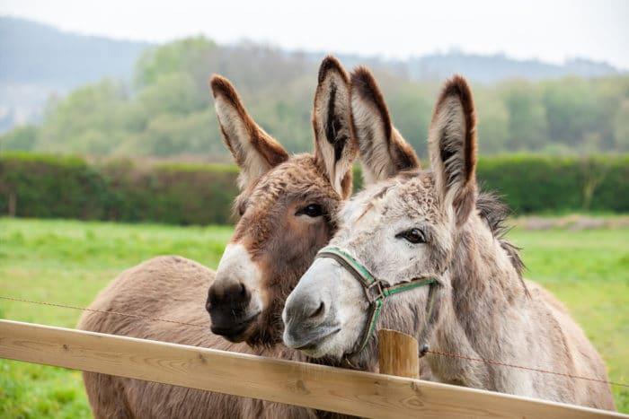 asino, mulo e bardotto