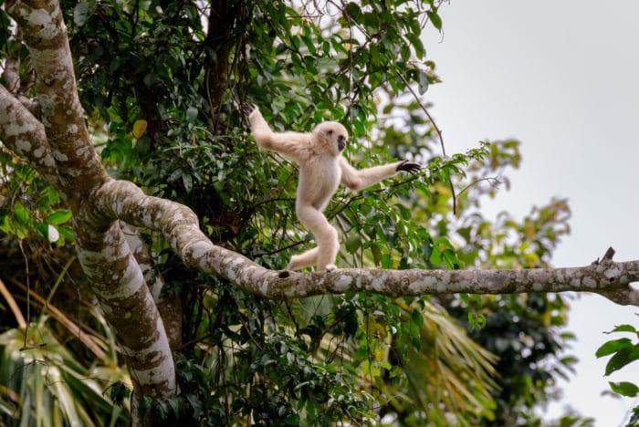scimmie gibboni