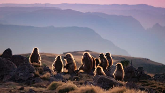 scimmie babbuini