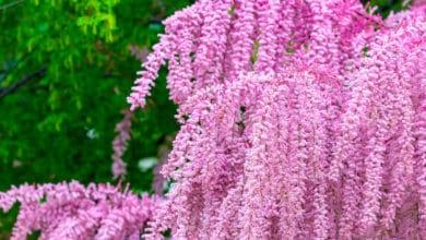 Photo of Tamerice: una pianta dalle vaporose fronde tanto decantate da poeti e scrittori