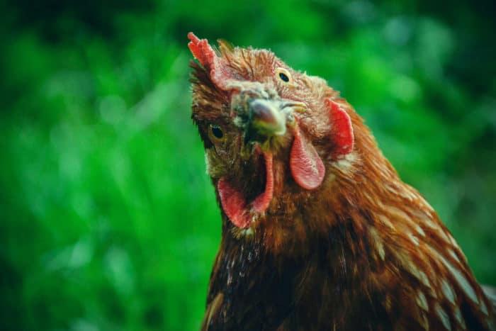 differenza tra pollo e gallina