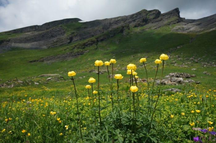 fiori di montagna - botton d'oro