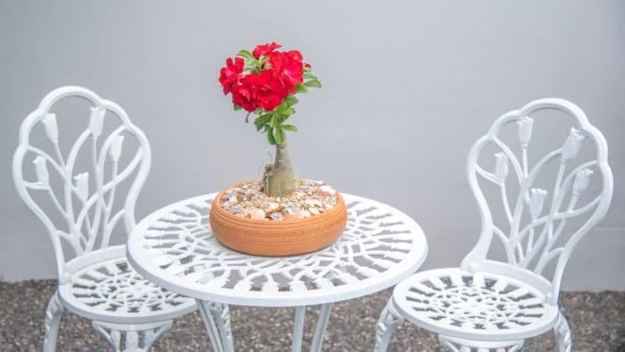 rosa del deserto coltivata a bonsai