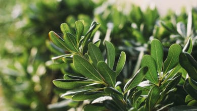 Photo of Scopriamo il pittosporo, una pianta ornamentale profumata amata dalle api