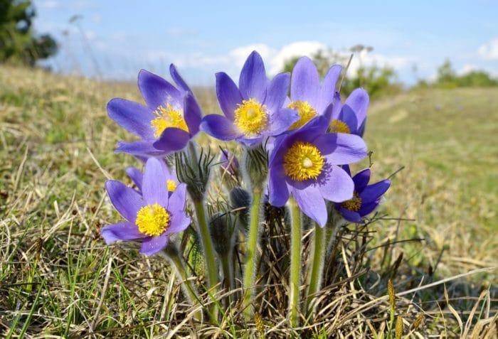 fiori di montagna - pulsatilla montana