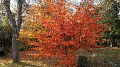 Photo of Scopriamo la Parrotia persica dal fogliame rosso e giallo acceso