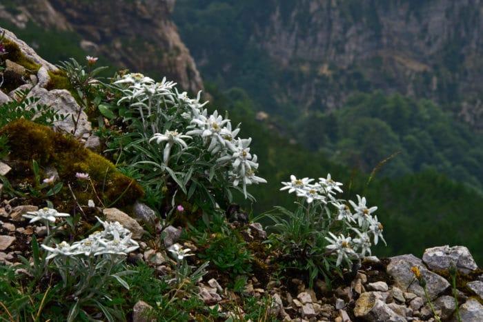 fiori di montagna stella alpina
