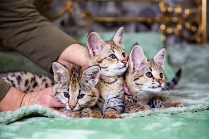 gatto savannah cuccioli