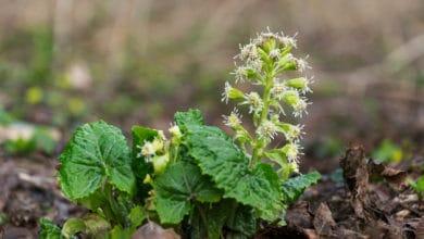 Photo of Farfaraccio: i segreti di una pianta erbacea molto utilizzata in erboristeria