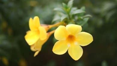Photo of Conosciamo meglio l'allamanda, una pianta decorativa dalla abbondante e colorata fioritura estiva