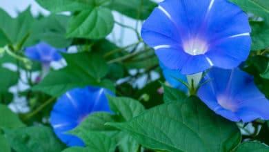 Photo of Ipomea: una pianta rampicante che si propaga rigogliosa nel terrazzo
