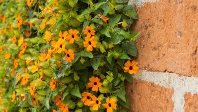 Photo of Thunbergia alata o Susanna dagli occhi neri, una pianta esotica da conoscere meglio