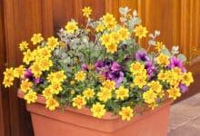 Photo of Tutto sul Bidens, la pianta che sta benissimo insieme ai gerani