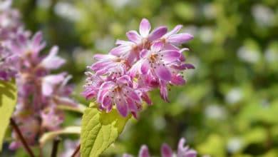Photo of Deutzia, la pianta che regala una meravigliosa fioritura primaverile