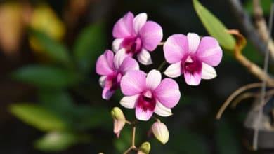 Photo of Il Dendrobium (Dendrobium nobile), varietà di orchidea molto apprezzata per la sua elegante e spettacolare fioritura