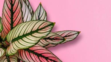 Photo of Calathea: una pianta tropicale difficile da coltivare, ma molto decorativa