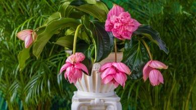 Photo of Medinilla magnifica, una pianta che arriva dai tropici per decorare l'appartamento