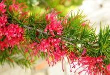 Photo of Grevillea, la pianta sempreverde che regala una spettacolare fioritura dalle tinte vivacissime