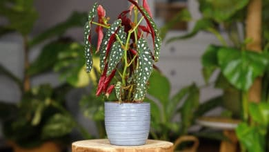 Photo of Tutto sulla Begonia tamaya (Begonia maculata), la pianta coi fiori a grappolo che arriva dal Brasile