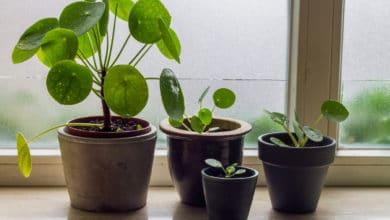 Photo of Tutto sulla Pilea peperomioides, la pianta delle monete portafortuna