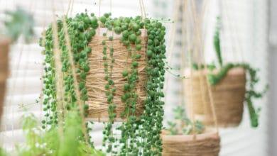 Photo of Il Senecio: una pianta grassa ornamentale molto particolare, da conoscere nei dettagli