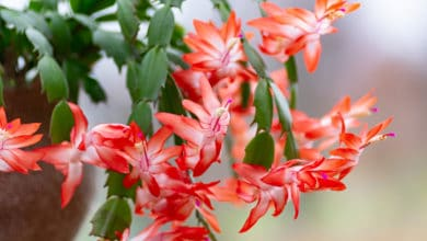 Photo of La Schlumbergera, la pianta che regala magnifiche fioriture in pieno inverno
