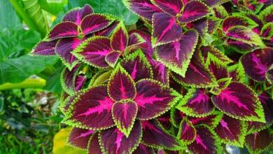 Photo of Coleus, una pianta coltivata per la bellezza e gli straordinari colori delle sue foglie