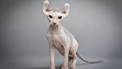 gatto elfo