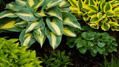 Photo of Hosta, pianta facile da coltivare in vaso e di lunga vita